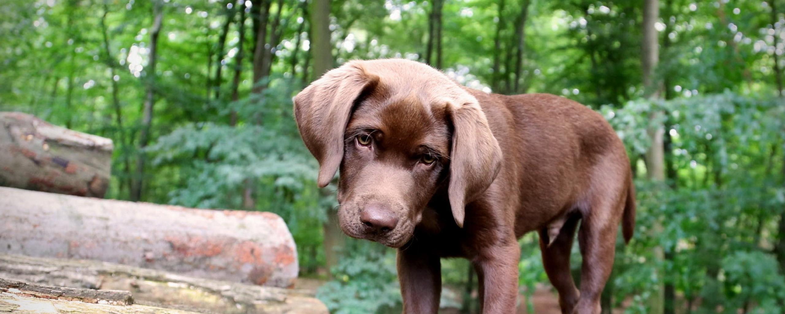 dog_muzzle_ears_beam_puppy_59782_2560x1024